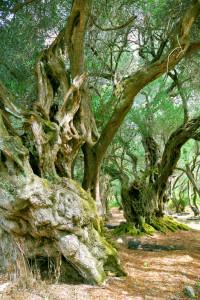 Kreeta oliivilehto